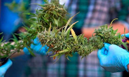 marihuana autoflorecientes